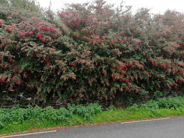 fushia hedge